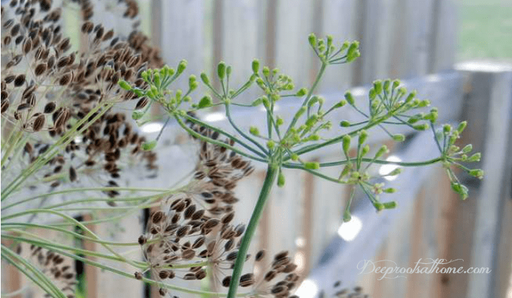 Health Benefits of Dill, Attracting Butterflies & Saving Seed, dill herb, dried dill seed, garden herb, seed collecting, saving