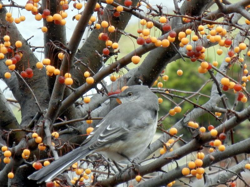 Winter Backyard Birds : Backyard Birds and Winter Food Sources, cedar waxwings, insect eaters